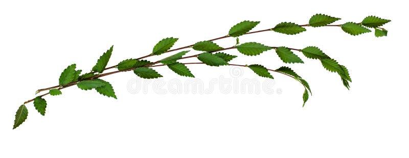 Wiązka świeże gałązki z zielonymi liśćmi obraz royalty free