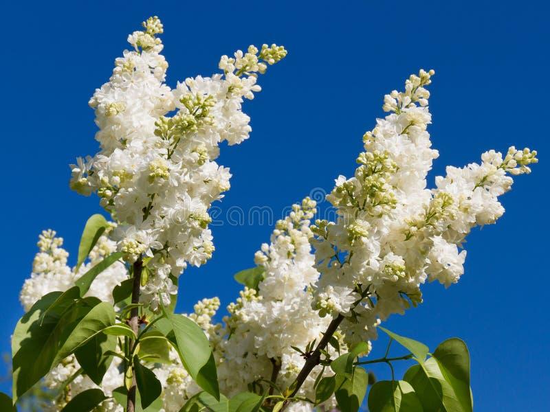 Wiązka biały lily kwiat zdjęcie royalty free