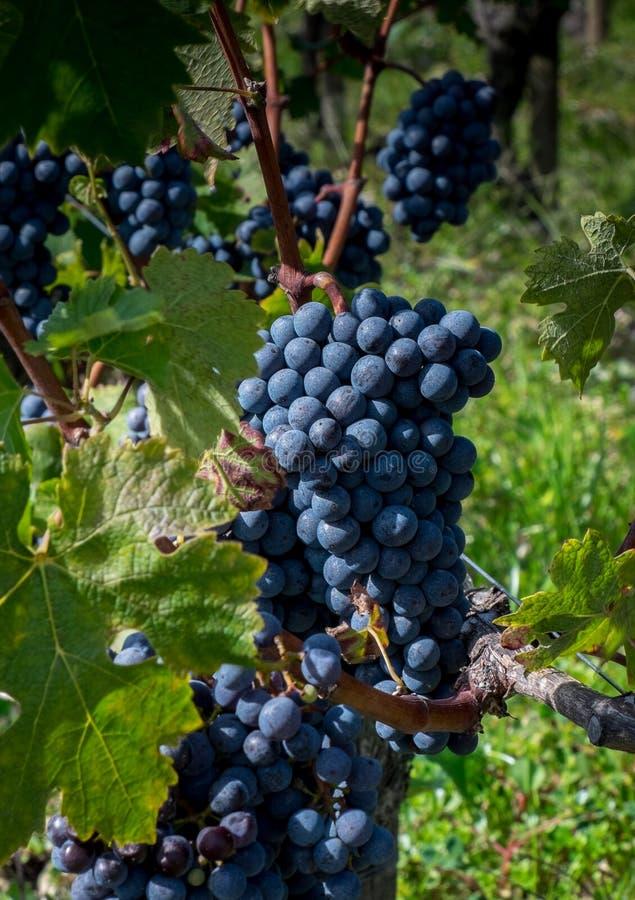 Wiązka Cabernet, Sauvignon winogrono w Pauillac -, Francja zdjęcie royalty free