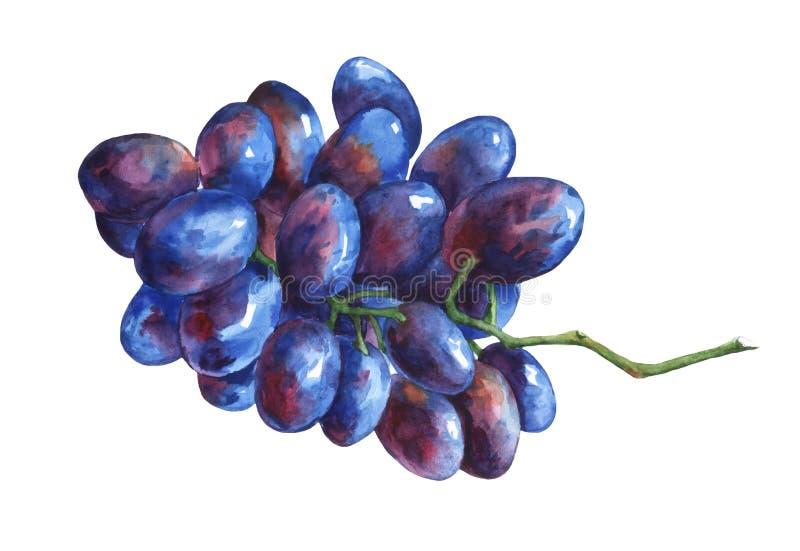 Wiązka czarni świezi winogrona ilustracja wektor