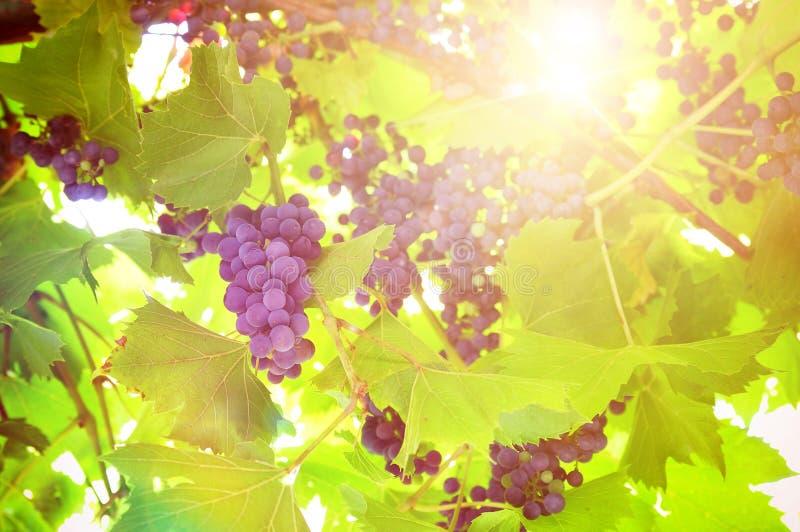 Wiązka czarni winogrona na roślinie w winnicy obrazy stock