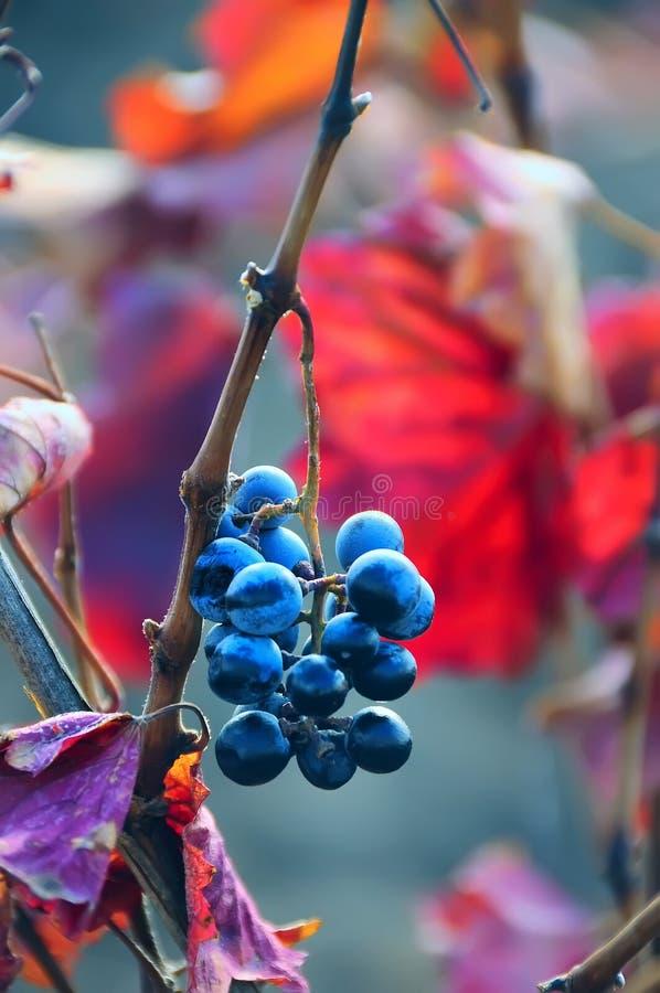 Wiązka czarni winogrona wśród jaskrawych barwionych liści obraz royalty free