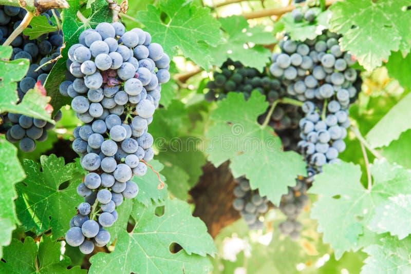 Wiązka czarni winogrona w winnicy obraz royalty free