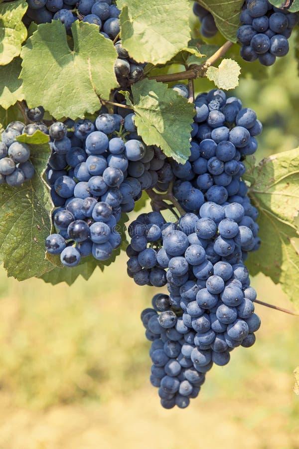 Wiązka czarny winogrona zdjęcie royalty free