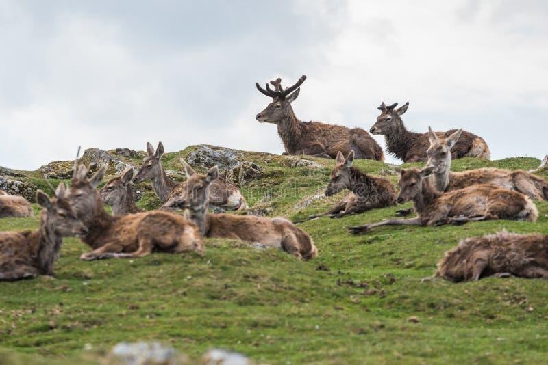 Wiązka Czerwoni Deers obraz stock