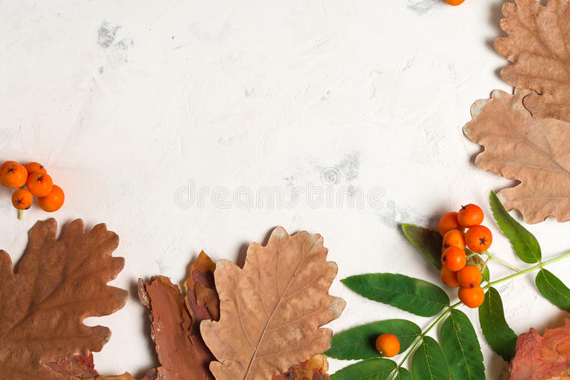 Wiązka dojrzały pomarańczowy halny popiół z zielonymi liśćmi suche liście jesienią Czarne jagody Bielu tynk lub kamień obrazy royalty free