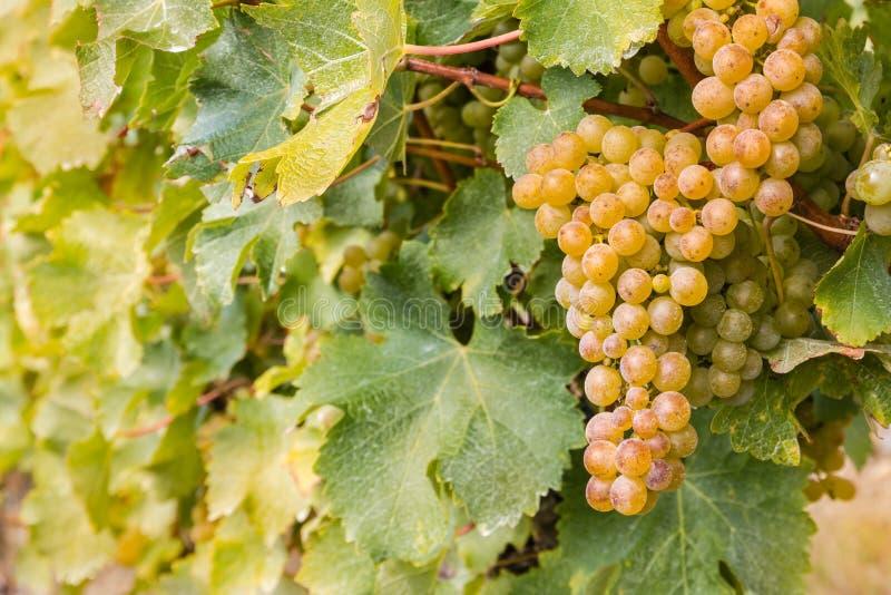 Wiązka dojrzali biali winogrona w winnicy fotografia royalty free