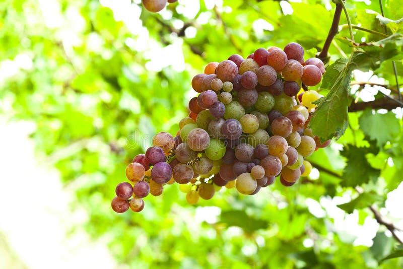 Wiązka dojrzali winogrona przygotowywający skubającymi fotografia royalty free