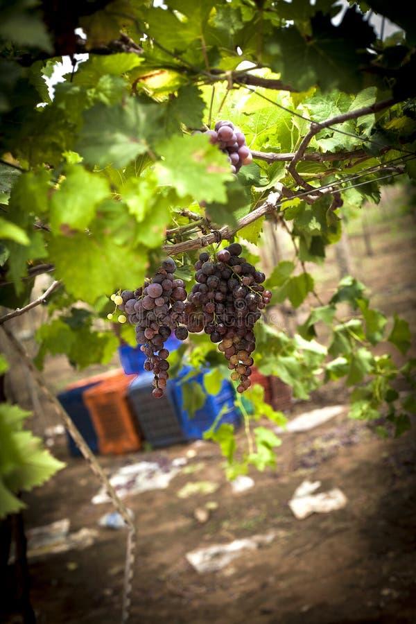 Wiązka dojrzali winogrona w winnicy obrazy stock
