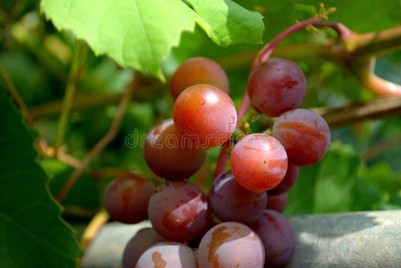 Wiązka dojrzali winogrona wiesza na gałąź przeciw tłu zieleni liście obraz royalty free