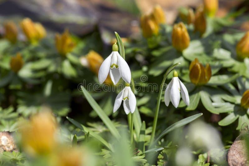Wiązka galanthus nivalis i Eranthis, pospolita śnieżyczka w kwiacie, wczesnej wiosny bączaści kwiaty, makro- szczegółu widok obrazy royalty free