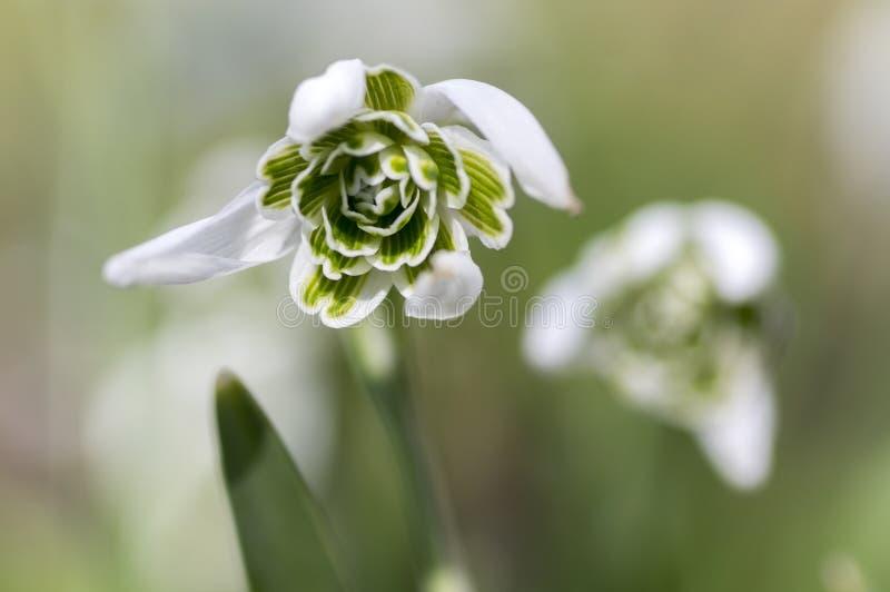 Wiązka galanthus nivalis, pospolita śnieżyczka w kwiacie, wczesnej wiosny bączaści kwiaty, makro- szczegółu widok obraz royalty free
