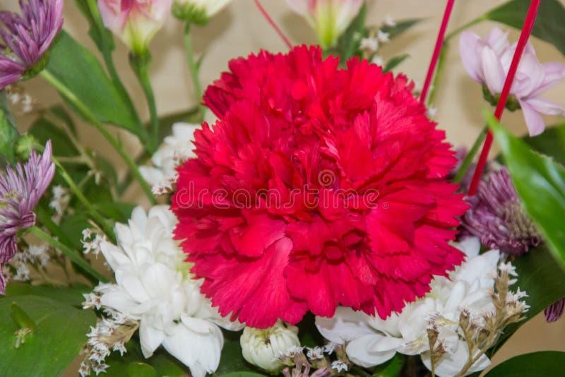 Wiązka goździk kwitnie, mieszał, kolory, czerwień, menchia, w górę cloves, tło dla 8 marszu, matka dzień, kobieta dzień fotografia stock