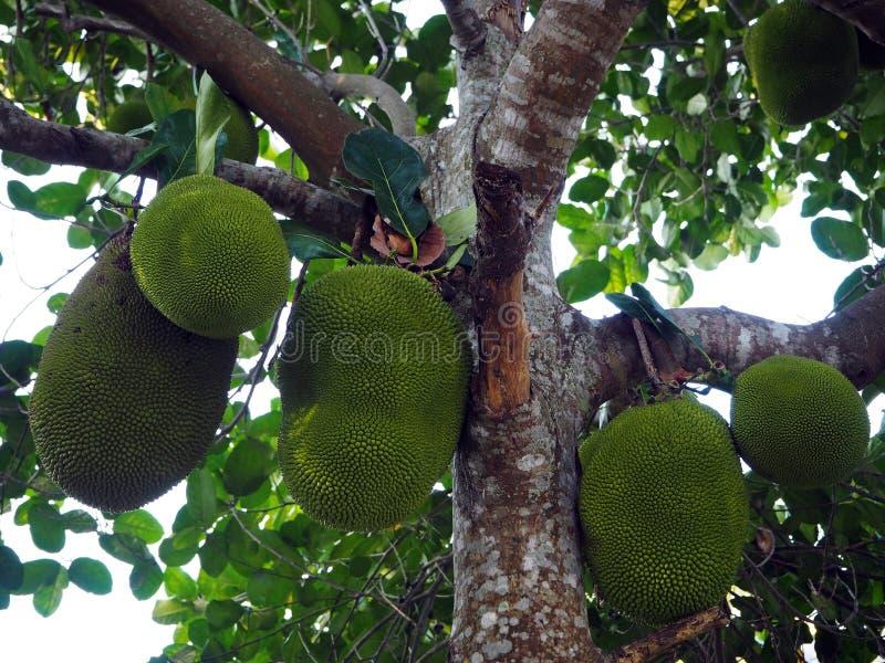 Wiązka Jackfruits na drzewie w gospodarstwie rolnym obraz stock