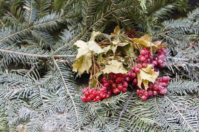 Wiązka jagody na firry gałąź zdjęcie royalty free