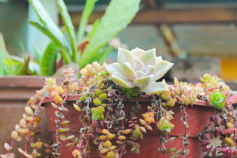 Wiązka Kaktusowy kwiat Selekcyjny Bunh zdjęcie royalty free