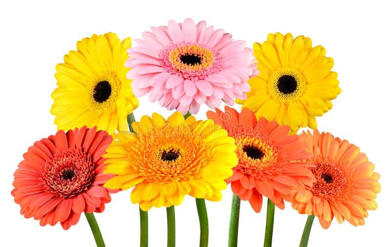 Wiązka Kolorowi Gerbera nagietka kwiaty Odizolowywający na bielu fotografia stock