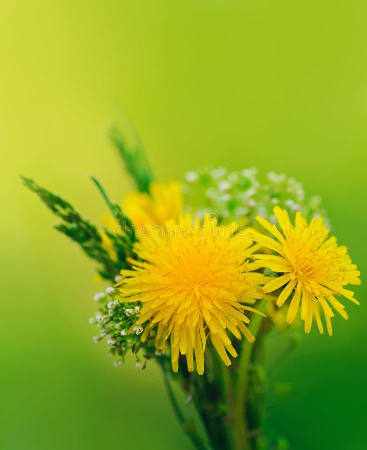 Wiązka kwiaty. Żółci lat dandelions i zielona trawa zdjęcie royalty free