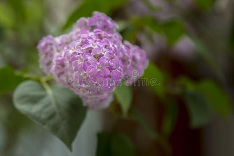 Wiązka kwitnący bzy w wczesnej wiośnie w Maju obrazy royalty free