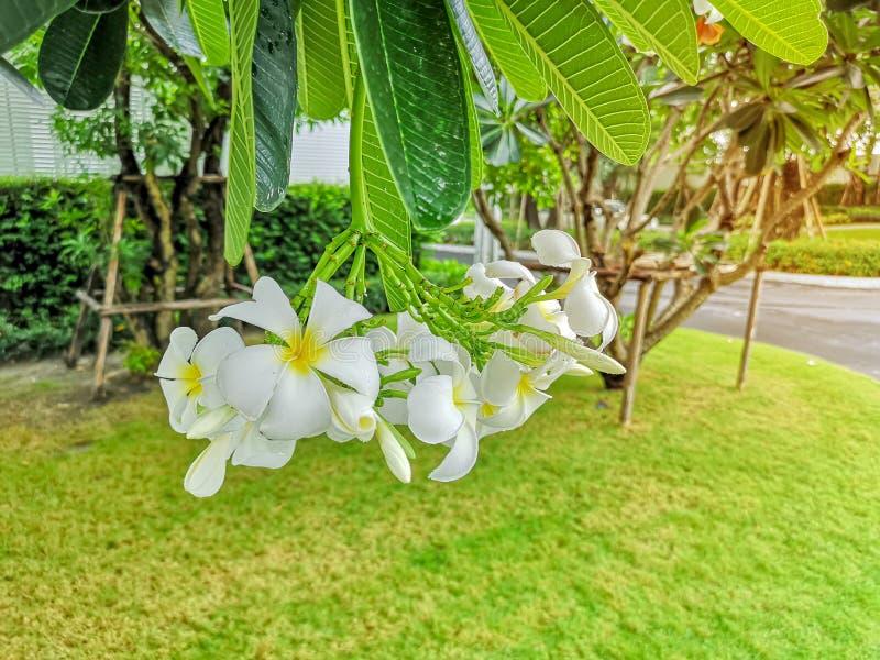 Wiązka piękny biały i żółty płatka Plumeria kwitnienie na zieleni opuszcza w parku, zna jako Świątynny drzewo, Frangipani zdjęcie royalty free