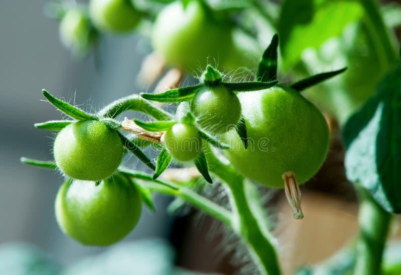 Wiązka potomstwa zielony pomidorowy zakończenie zdjęcia royalty free