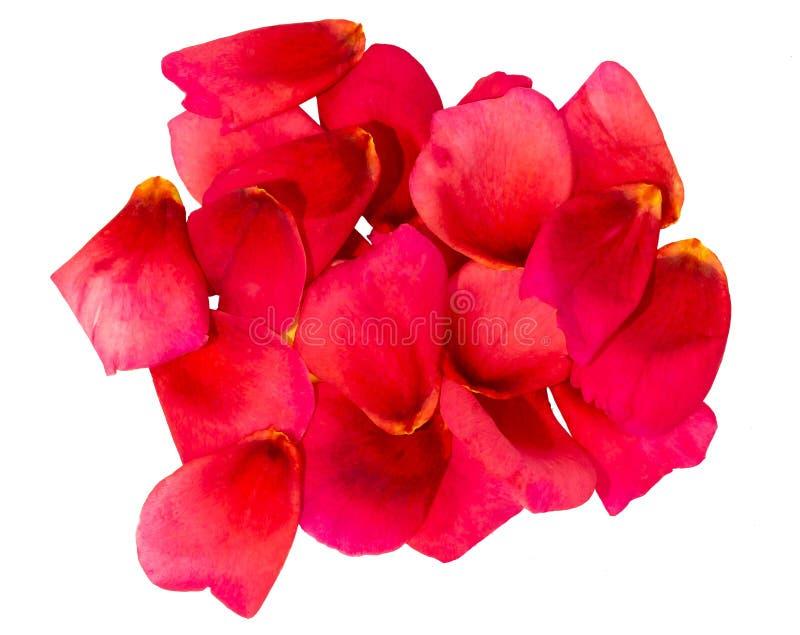 Wiązka różani płatki zdjęcie royalty free