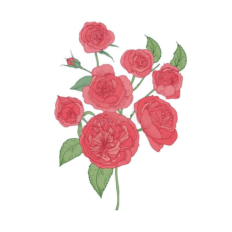 Wiązka różowa kapusta lub Austin Wzrastał kwiaty odizolowywających na białym tle Botaniczny rysunek kultywujący ogród royalty ilustracja