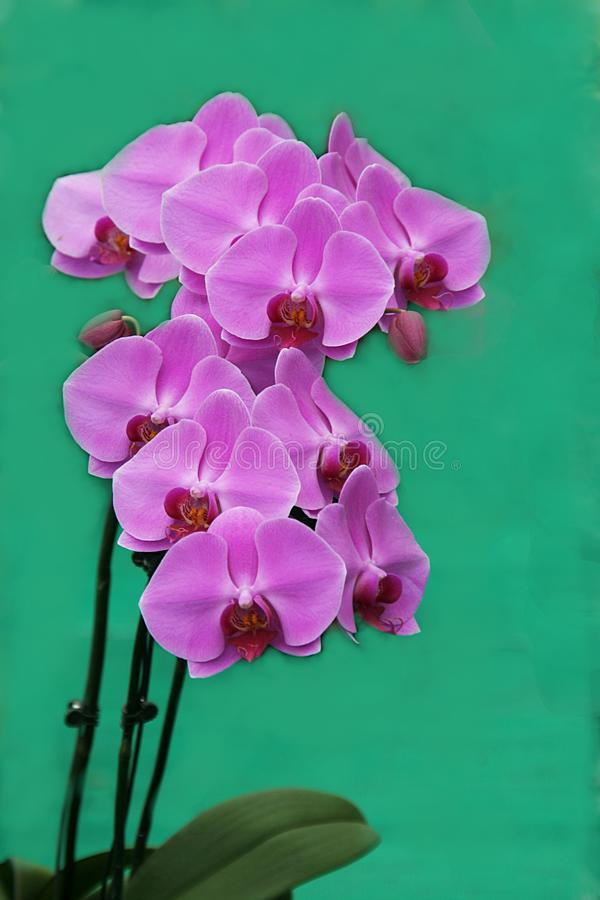Wiązka Różowe orchidee obraz royalty free