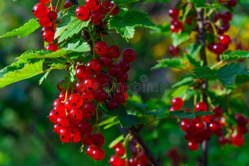 Wiązka redcurrant zdjęcie royalty free