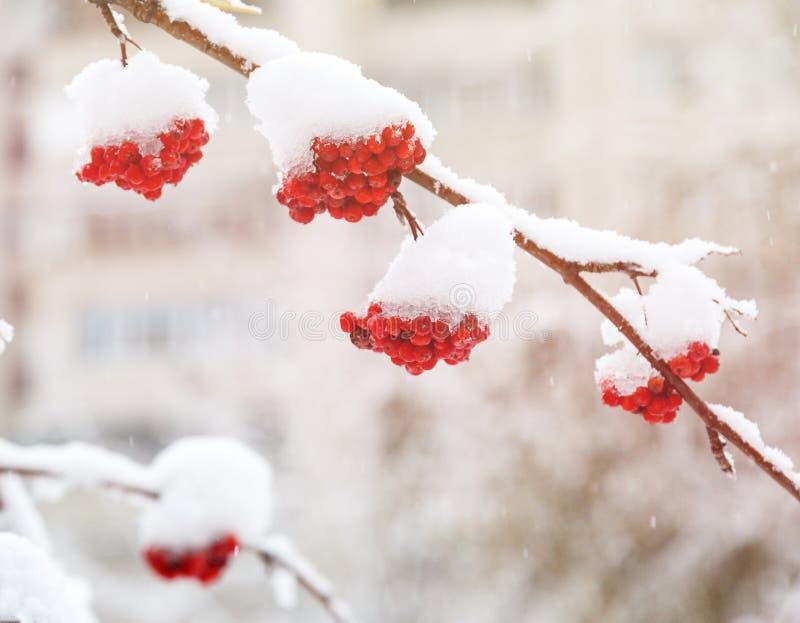 Wiązka rowan jagody z lodowych kryształów zimą Zima krajobraz z śnieżystym jaskrawym czerwonym rowan obrazy stock