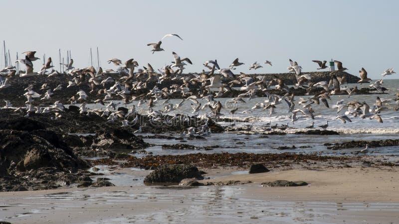 Wiązka seagulls lata z plaży zdjęcia royalty free