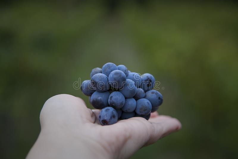 Wiązka winogrona na ręce obraz stock