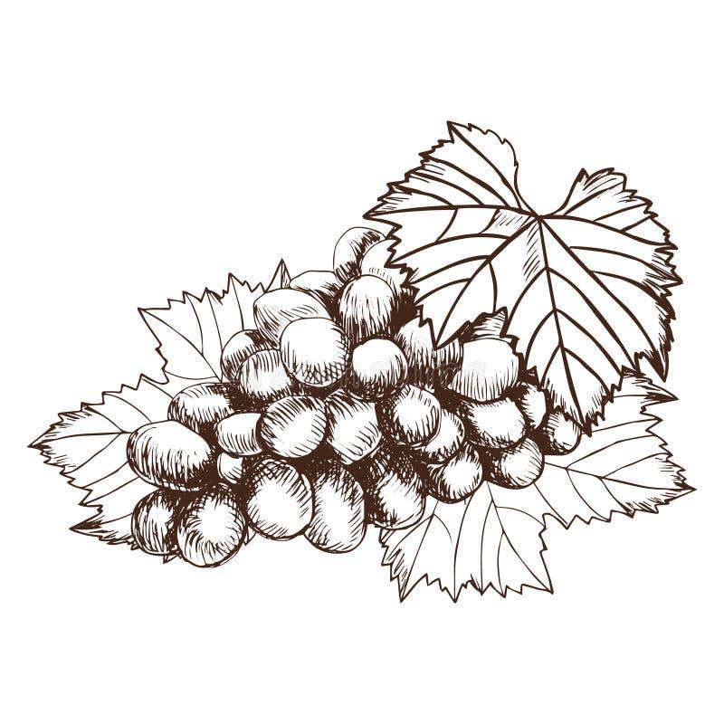 Wiązka winogrona nakreślenia stylu wektoru ilustracja Stara rytownictwo imitacja ręka patroszona ilustracji