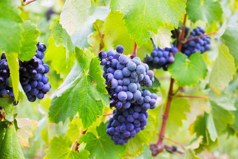 Wiązka winogrona przy winnica rośliną obrazy stock