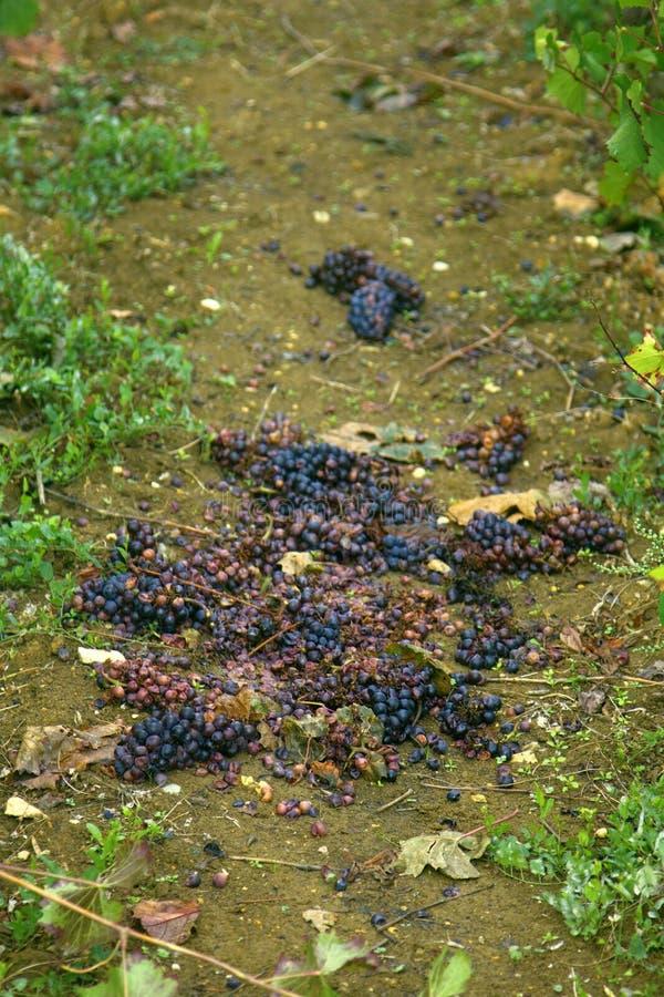 Wiązka winogrona rozjaśniający jagody zdjęcia royalty free