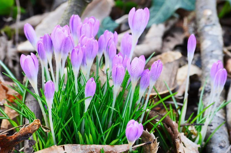 Wiązka wiosna krokus na las podłoga budzi się do wiosny po długiej zimy zdjęcie stock