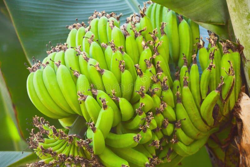 Wiązka zieleni banany w ogródzie botanicznym zdjęcia stock