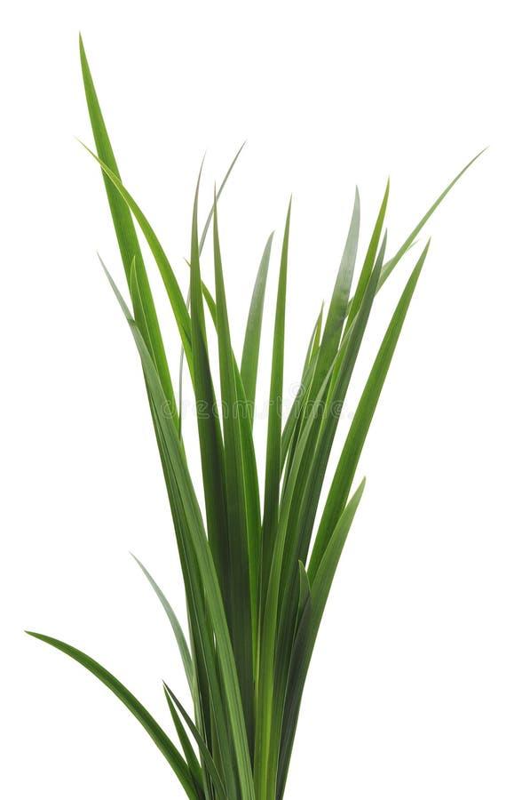 Wiązka zielona trzcina zdjęcie stock