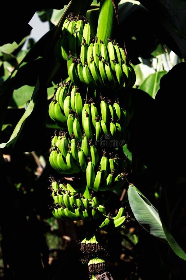 Wiązka zielonych bananów rolnicza plantacja w Turcja fotografia stock