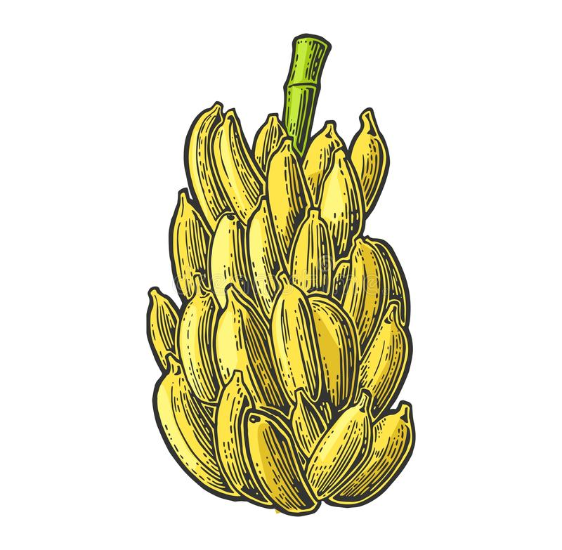 Wiązki świeże bananowe owoc ilustracji