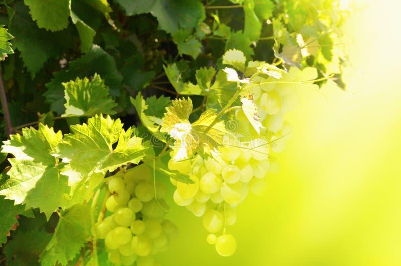 Wiązki biali winogrona wiesza na krzaku niezrównoważenie obraz stock
