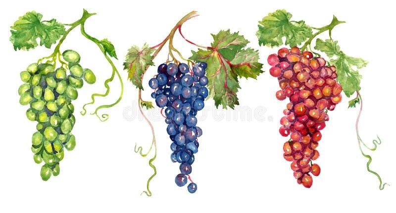 Wiązki czerwieni, białych i różowych winogrona z liśćmi, ilustracja wektor