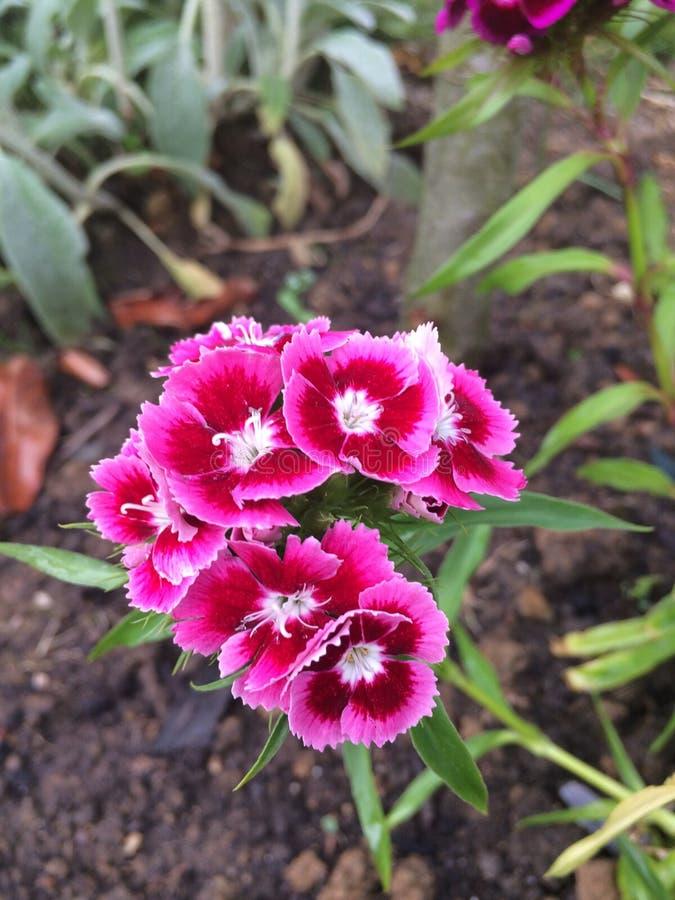 wiązki kwiatów menchie obrazy stock