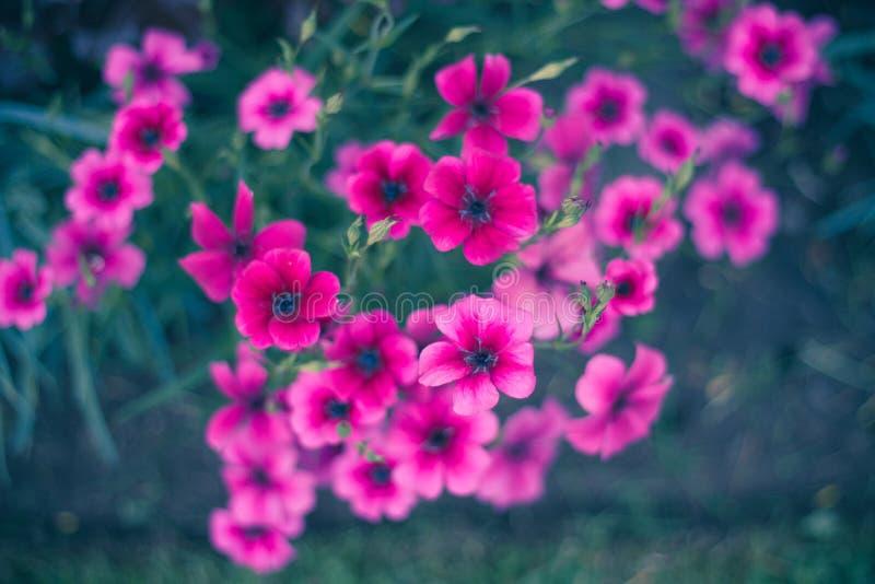wiązki kwiatów menchie obrazy royalty free