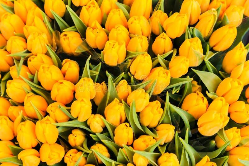 wiązki tulipanów kolor żółty obraz royalty free