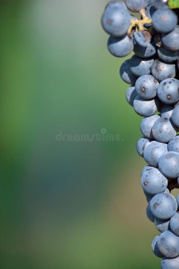 wiązki winogrona czerwień obrazy stock