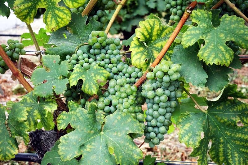 Wiązki zielenieją winorośli w wytwórnia win zdjęcie royalty free