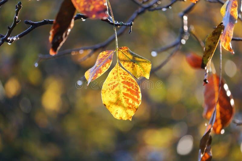 Wiązu liść w Opóźnionej jesieni fotografia royalty free