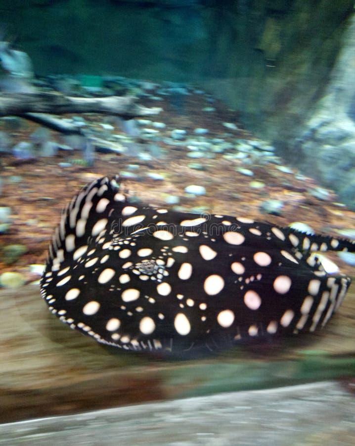Więcej łowi w dużym akwarium obrazy royalty free