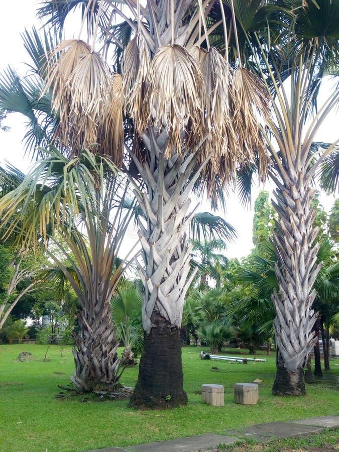 Więdnąca palma w ogródzie obrazy stock